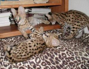 Adorable Savannah - Serval - Ocelot - Caracal gati