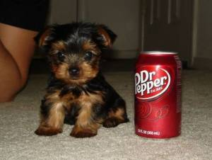 Regalo cachorros toy de yorkshire terrier./,