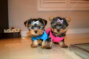 Regalo cachorros yorkshire terrier .,l