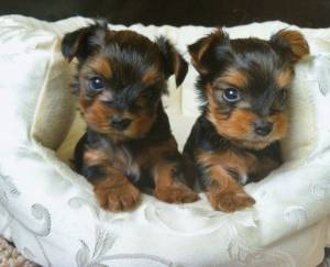 Regalo cachorros yorkshire terrier.,/l