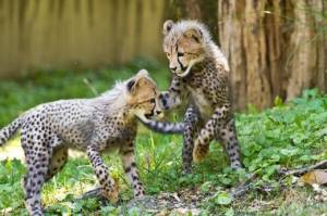 Lovely And, White Tiger Cubs, Cheetah Cubs, africa