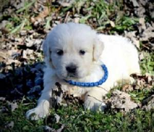 Regalo lindo Golden Retriever cachorros para