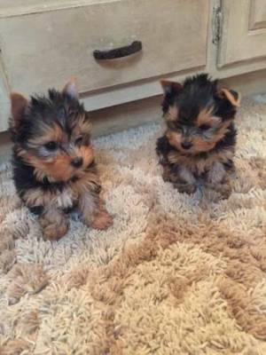 ##teacup yorkie puppies male and female ##