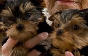 Excelente Yorkie Puppies disponible gratis