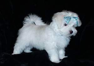 REGALO Bichon Maltes Mini Toy Para Adopcion v3