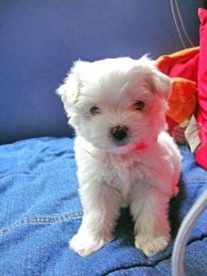 REGALO Bichon Maltes Mini Toy Para Adopcion za