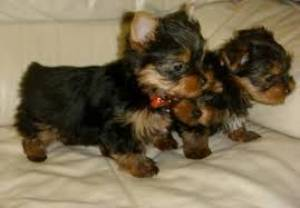 Regalo Cachorros de Yorkshire Terrier//