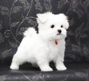 REGALO cachorros Bichon Maltes Mini Toy 3