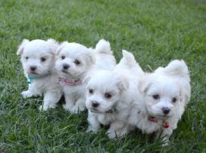 REGALO cachorros Bichon Maltes Mini Toy 0