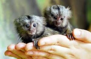 Monos marmoset macho y hembra disponibles