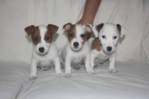 Cachorros  jack russell hombre y mujer