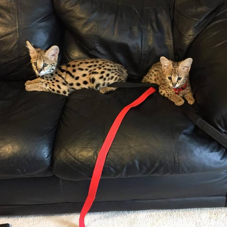 Serval y sabana disponibles.