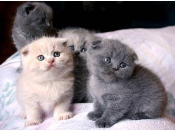 scottish fold kittens para la venta