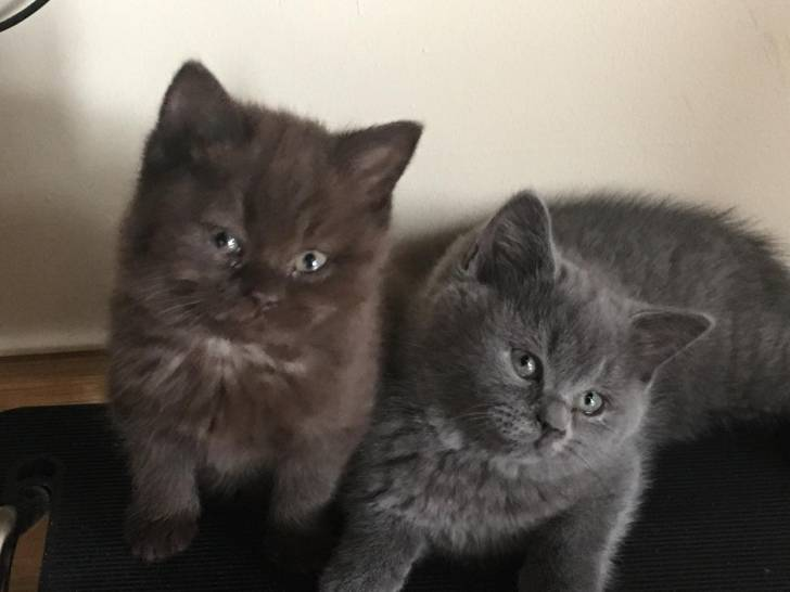 Gatitos british shorthair brown