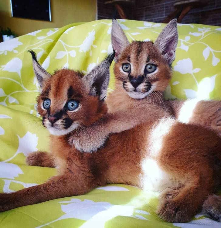Disponible gatitos sabana caracal ocelote serval bengal